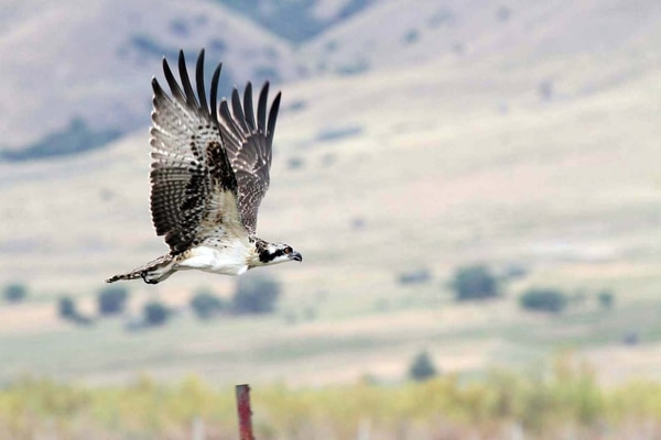 Scott Root | Utah Division of Wildlife Resources You can see ospreys like this one at this year's Osprey Watch.