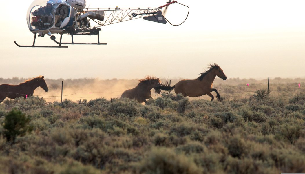 Utah wild horses ran into barbed wire during aerial roundup; four animals with pre-existing injuries were euthanized