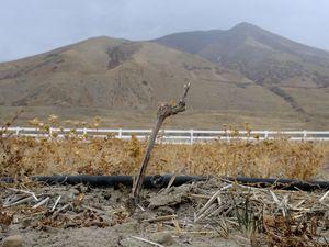 (Leah Hogsten  |  The Salt Lake Tribune) A lone grape vine stretches skyward below the Oquirrh Mountains at Mannebach Farm in Erda, Dec. 11, 2020.