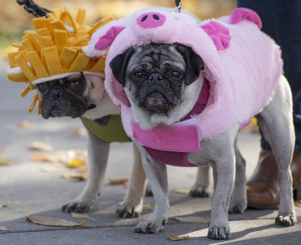 (Leah Hogsten | The Salt Lake Tribune) In 2017, Snoopy dressed as a lion and Lucy dressed as a pig for the Downtown Farmers Market's Howl-o-Ween Pet Costume Contest.
