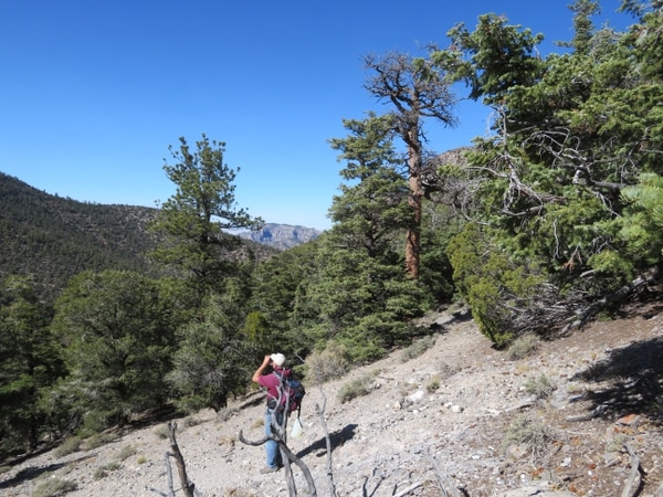 (Photo courtesy of Doug Page, Bureau of Land Management) Botanist Stan Kitchen discovered the oldest known ponderosa pine, pictured here to the right of Kitchen a year after its death. During a 2017 visit to the site at 8,400 feet in Utah's Wah Wah Mountains, Kitchen scans hillside for other beetle-killed trees.