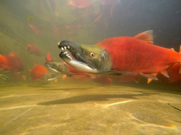 (Chante Lundskog | Utah Division of Wildlife Resources) You can see bright red kokanee salmon at the free viewing event at Strawberry Reservoir.