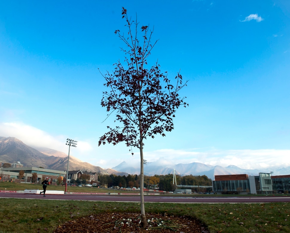 (Rick Egan | The Salt Lake Tribune) Tree planted in memory of Lauren McCluskey, near the track at the University of Utah, Wednesday, Oct. 31, 2018.
