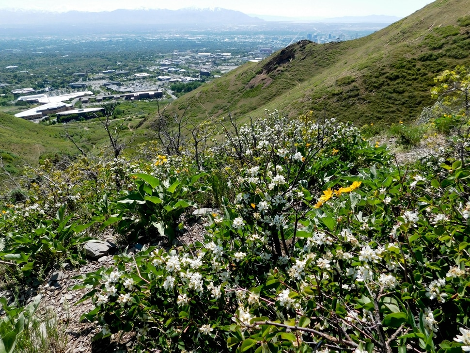 Erin Alberty | The Salt Lake Tribune Blossoms smother serviceberry shrubs May 9, 2017 along the Living Room trail in Salt Lake City.