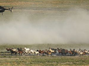 (AP Photo   Rick Bowmer) A helicopter pushes wild horses during a roundup on July 16, 2021, near U.S. Army Dugway Proving Ground, Utah. Federal land managers are increasing the number of horses removed from the range this year during an historic drought. They say it's necessary to protect the parched land and the animals themselves, but wild-horse advocates accuse them of using the conditions as an excuse to move out more of the iconic animals to preserve cattle grazing.