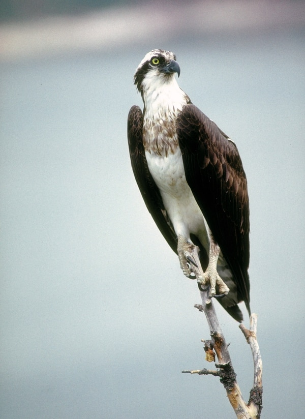 Ron Stewart | Utah Division of Wildlife Resources You can see ospreys like this one at this year's Osprey Watch.